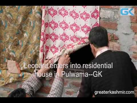 Leopard enters into residential house in Pulwama