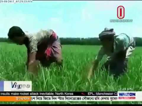 Farmers suffering as agricultural officer not in field to help them (25-09-2017)