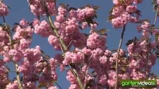 Prunus Kanzan in voller Blüte