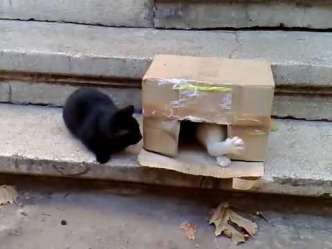 Doi pisoi haioși - Pisici amuzante