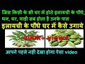 How To Grow Cardamom Plant from seed at home | elaichi plant benefits for vastu and medicine at home