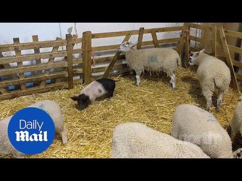 Γουρουνάκι νομίζει ότι είναι... πρόβατο!