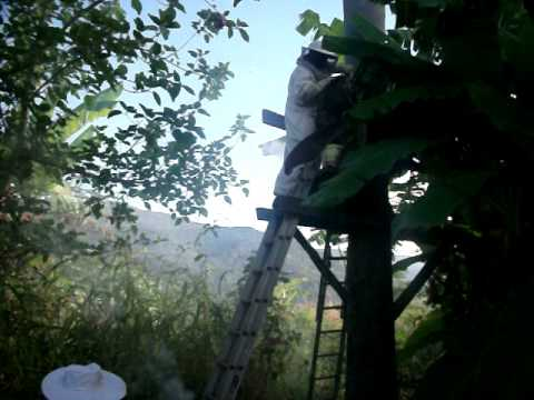African beekeeping Harvesting honey