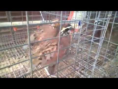 Quail Hatchlings Chirp at Little 'q' Ranch