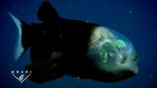 いや、これってフェイクでしょ?というコメントが殺到した、透明な頭を持つ魚デメニギス(クリーチャー系出演中)