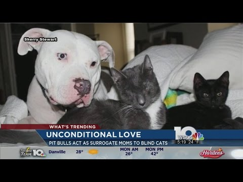 Pit Bulls Become Surrogate Mothers For Blind Kittens