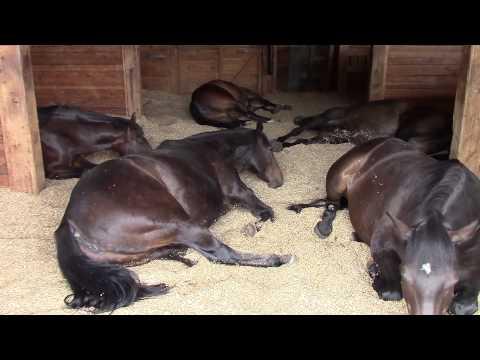 Hevoset rentoilevat tallissa kuorsaten ja piereskellen