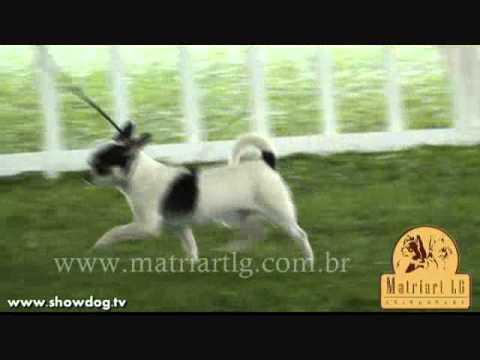 Show Dog Chihuahua – Matriart LG Uramaki 001