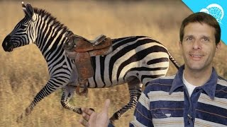 Why Don't Humans Ride Zebras?