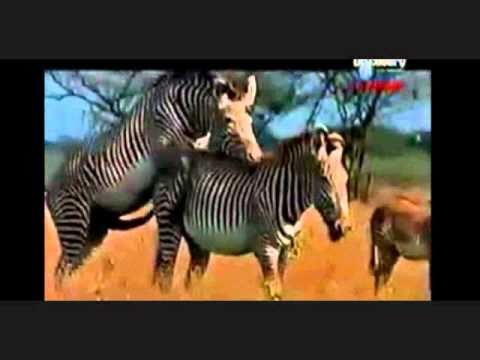 Zebras mating