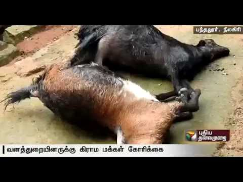 Leopard-roaming-in-Bandalur-killed-20-goats-demand-from-residents-to-capture-it