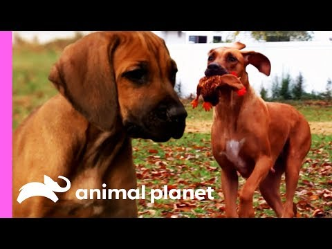 Rhodesian Ridgeback Pup Unleashes His Hunting Instincts | Too Cute!