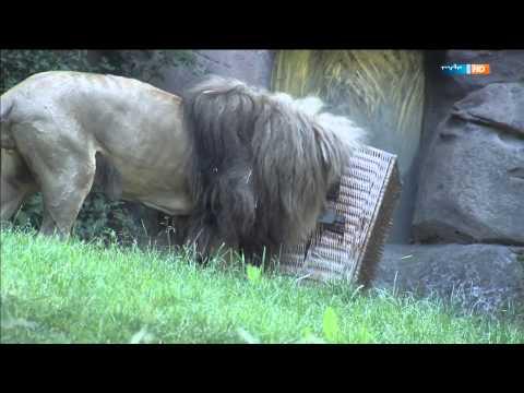 Leipzig: Elefant, Tiger und Co. - Geschichten aus dem Zoo (Folge 625): Nashornkuh Sarafine ist schüchtern!