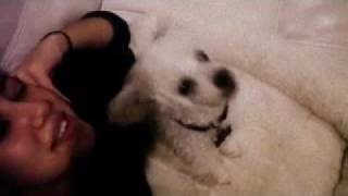 Funny Poodle Howling