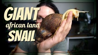 THE GIANT AFRICAN LAND SNAIL by Jossers Jungle