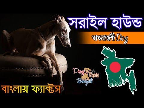 Sarail hound dog facts in Bengali   Bangladeshi Dog Breed   Dog Facts Bengali