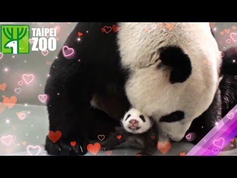Znovusetkání pandí mámy s mládětem hitem internetu