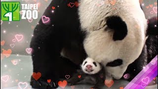 Giant Panda Baby has Mom's Embrace