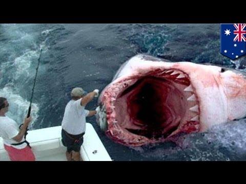 Гигантскую большую белую акулу сожрал