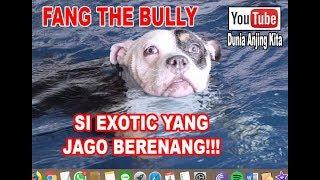 Video Fang The Bull Si Anjing Bully Jago Berenang!!! MP3, 3GP, MP4, WEBM, AVI, FLV Mei 2019
