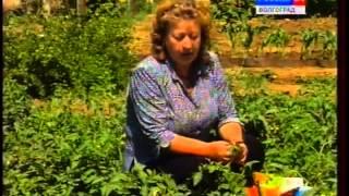 Болезни томатов: симптомы, профилактика, порядок лечения садовой культуры