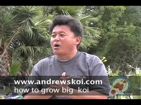 koi - http://www.andrewskoi.com/ Expert Japanese koi importer, Andy Moo educates koi keepers on how to grow big Japanese koi. Andrews koi is located on: 1650 South...