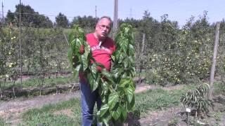 #756 Maulbeerbaum - Selektion von Maulbeersorten