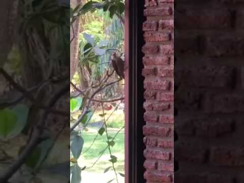 Woodpecker Trying to Drill Through a Window