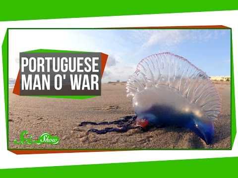 Portuguese Man o War An Organism Made of