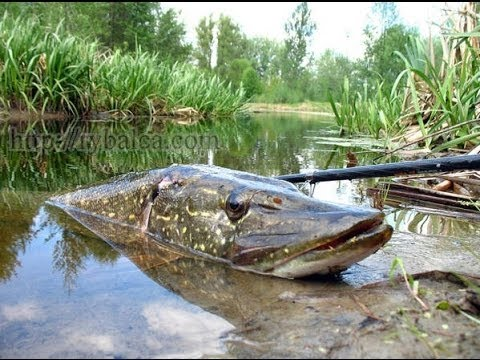 ловля щуки получи и распишись спиннинг в осеннее время получай реке