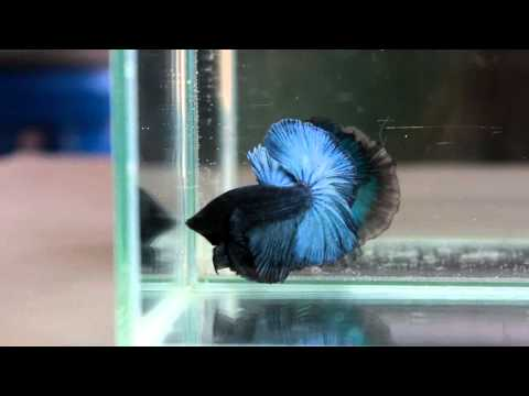 Betta Splendens : (0213-57) Steelblue Halfmoon Singletail Male