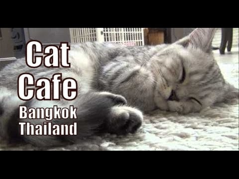 Visiting a cat cafe in Bangkok, Thailand to play and pet cute cats