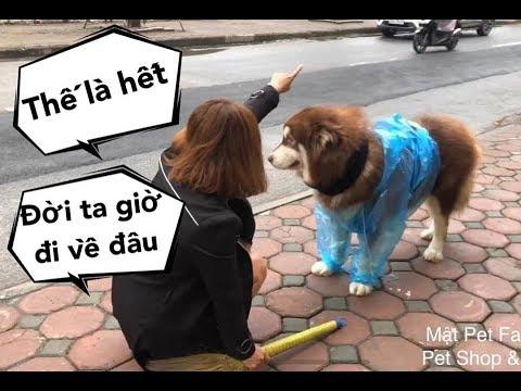 Mật giả chết vì lỡ gây họa,  mặc áo mưa bị đuổi ra đường - Mật Pet Family - Thời lượng: 10 phút.