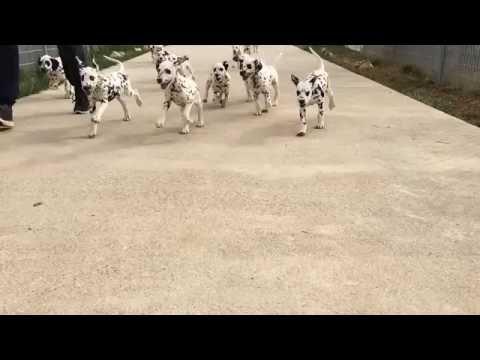 Vendita straordinari cuccioli dalmata prestigioso pedigree
