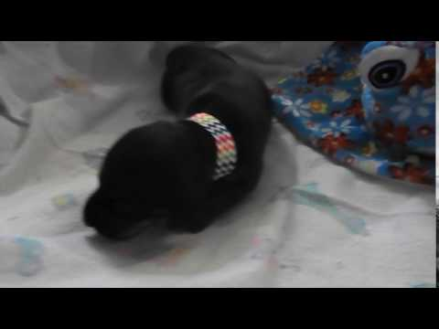 AKC mini dachshund puppy