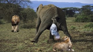 Video Lion And Crocodile Try To Steal Newborn Elephant After Mother Elephant Giving Birth MP3, 3GP, MP4, WEBM, AVI, FLV Mei 2018