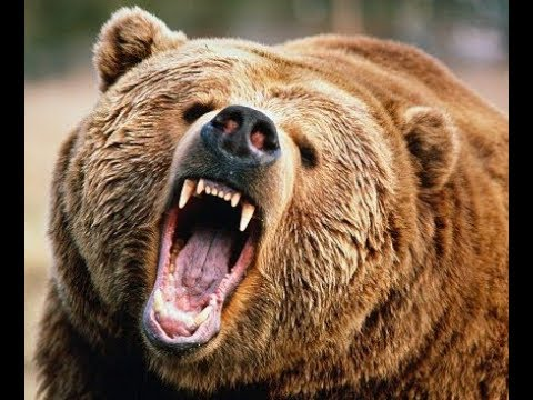 Wild grizzly bear Attacks!!! in Banff Canada