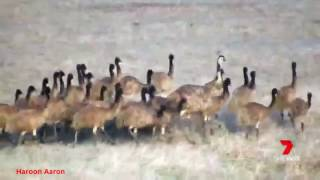 'Super emu dad' leading his 40 chicks across the Eyre Peninsula
