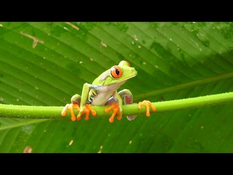 Glass frogs - Poison Dart frogs -Tree frogs - Toads, Costa Rica