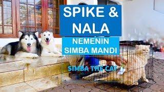 Video SPIKE and NALA nemenin SIMBA grooming - VLOG MP3, 3GP, MP4, WEBM, AVI, FLV Juni 2019