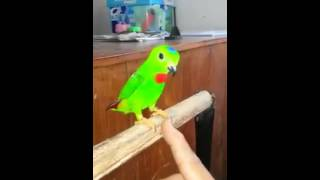 Serindit Jinak 2 Video