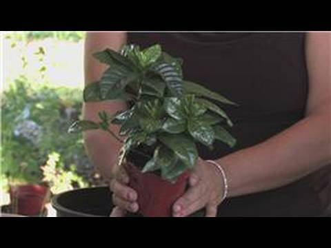 Flower Gardening : How to Grow Camellia