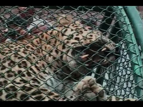 Leopard-captured-with-help-of-tranquilizer-in-Meerut