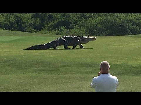 Giant Alligator Walks Across Florida Golf Course!