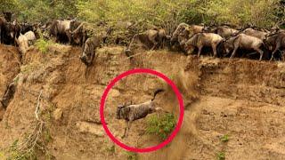 Video Masai Mara River Crossing Migration|Crossing of Wildebeest Across the Crocodile-Infested Mara River MP3, 3GP, MP4, WEBM, AVI, FLV Agustus 2019