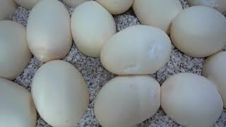 Easter Egg Hunt with Snakes (Watch It All for Easter Bunny Attack) by Prehistoric Pets TV