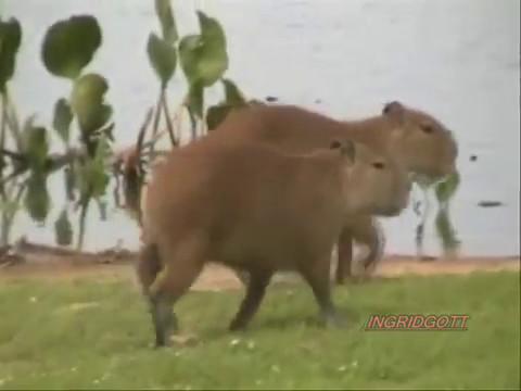 Big Butt  Trasero Grande y bonitos awwwwwwwwwwwwwthe capybara have