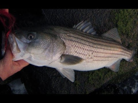 Surf Bucktailing Rocky Shorelines for Stripers and Blues