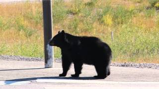 Golden (BC) Canada  city pictures gallery : Black Bear in Golden B.C. Canada
