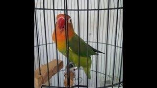 Ampuh Pancingan Masteran Love Bird